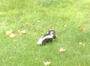 skunk lunch